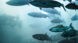 A large school of salmon make their way up a fish ladder of a dam in the Columbia River, Oregon.