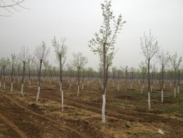 Planted trees in Beijing to sequesters carbon.
